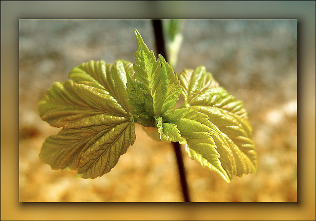 Young Chestnut