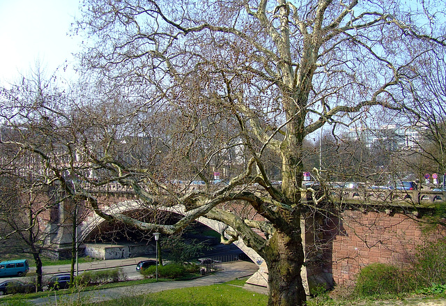 Kersten- Miles- Brücke with old tree