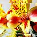 Alstromeria aurantiaca