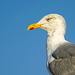 Herring Gull 1