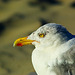 Herring Gull 3