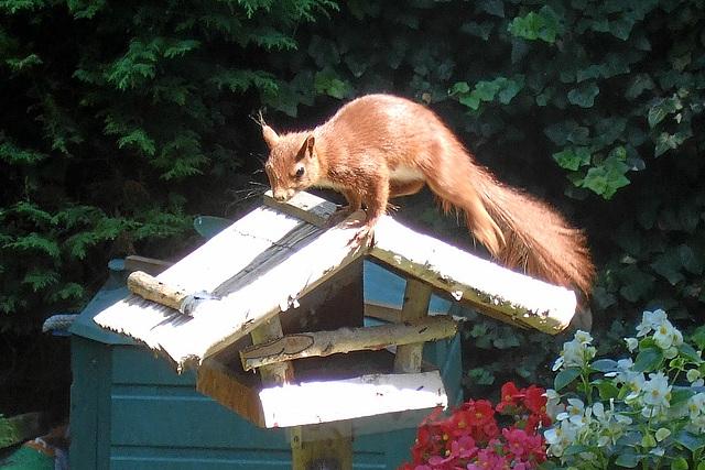 Eichhörnchen im Garten/squirrel in the garden