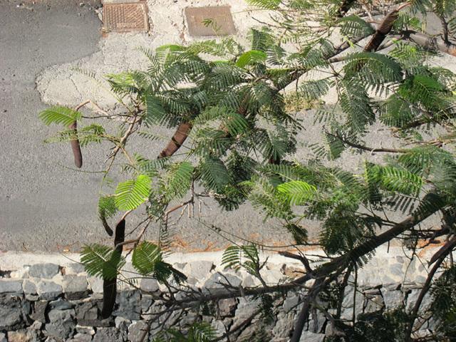 IMG 1294 Früchte des Baobab