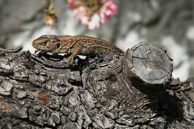 Lizard lazing on a pear tree