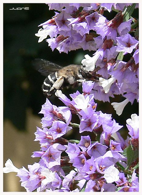 Anthophoridae ¿Amegilla spp.?