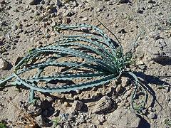 Desert Lily (2925)