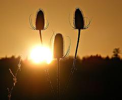 Teazel sunset