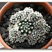 Mammillaria  vetula ssp.gracilis 'Arizona Snowcap'   (3)