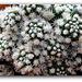 Mammillaria  vetula ssp.gracilis 'Arizona Snowcap'   (5)