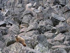 YStone Marmots?