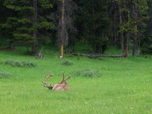 YStone Elk