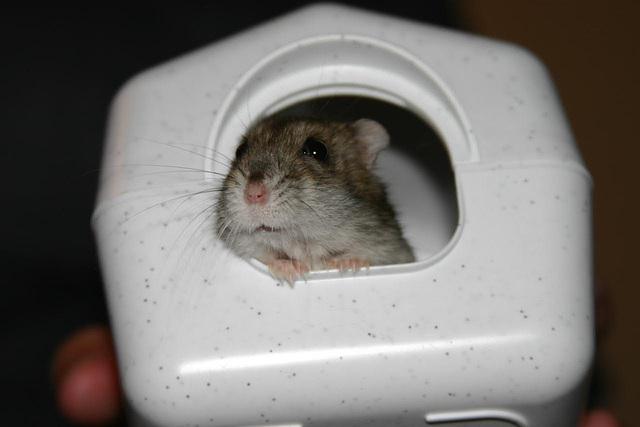 My girlfriend's hamster
