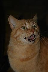 My friend's cat Elvis