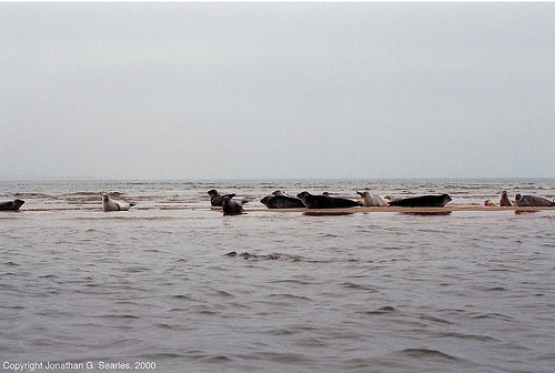 Seals Off The Coast Of Blakeney, Norfolk, UK, In the North Sea, 2000