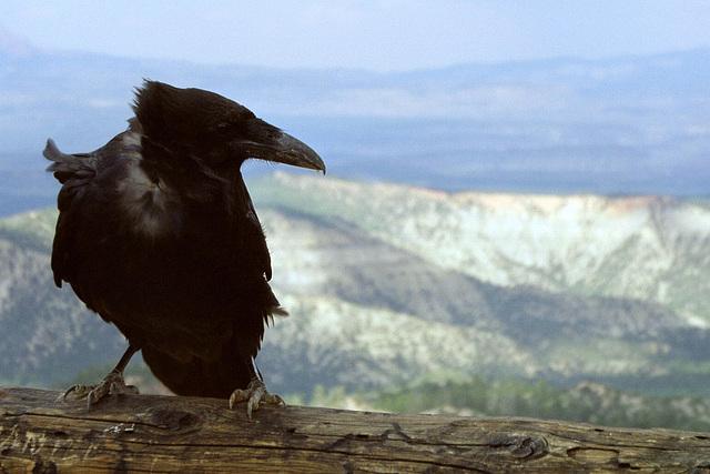 Bryce Canyon - Raven