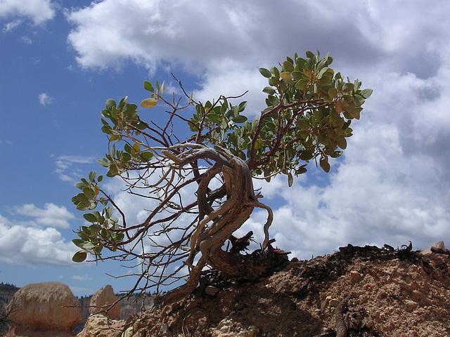 Bryce Canyon - Überlebenskampf