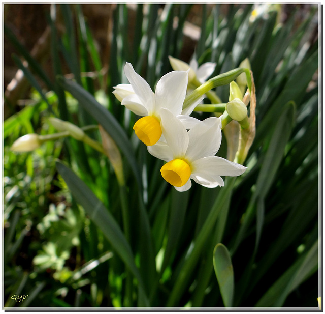 Narcissus tazzetta.