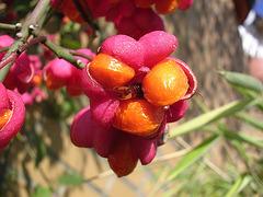 Herbst - Pfaffenhütchen