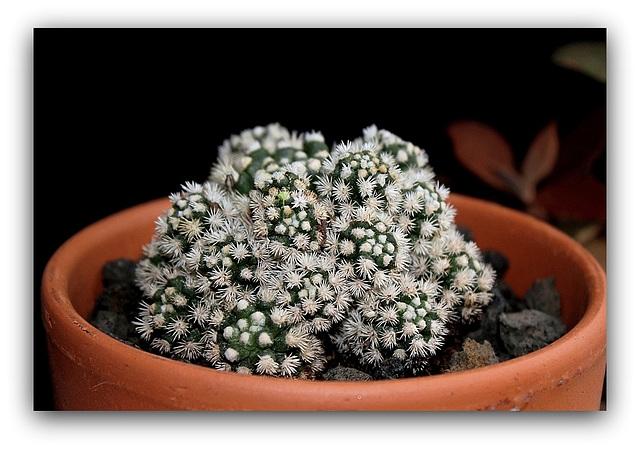 Mammillaria  vetula ssp.gracilis 'Arizona Snowcap'  (2)