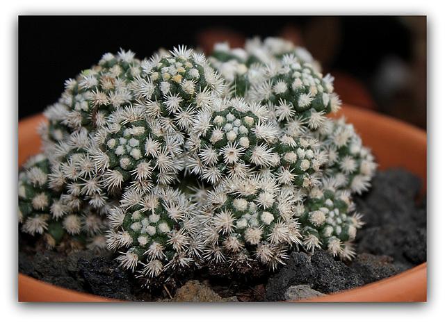 Mammillaria  vetula ssp.gracilis 'Arizona Snowcap'