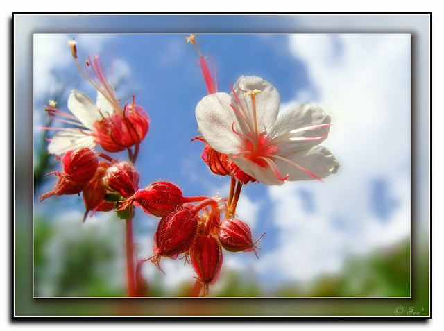 Storchschnabelblüte