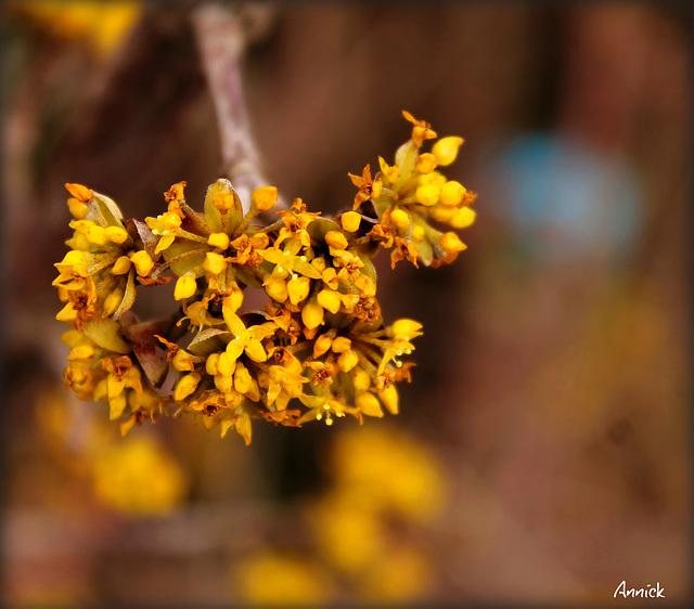 Cornus mas Aurea (cornouiller) Couleur fleur : jaune Catégorie : arbre Famille : Cornaceae / .