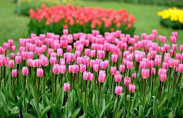 Fête de la tulipe ...