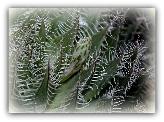 Haworthia bolusi .; mise à fleur