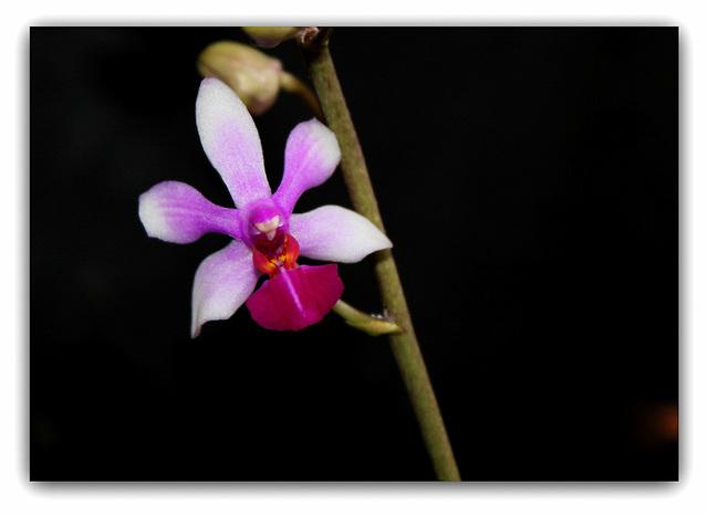 Doritenopsis  'Anna-Larati Soekardi' x wilsonii (2)