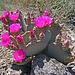 Cactus Flowers (2407)