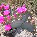 Cactus Flowers (2408)