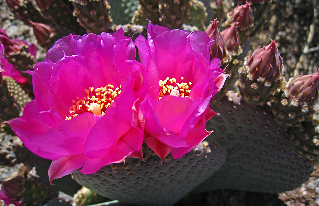 Cactus Flowers (2409)