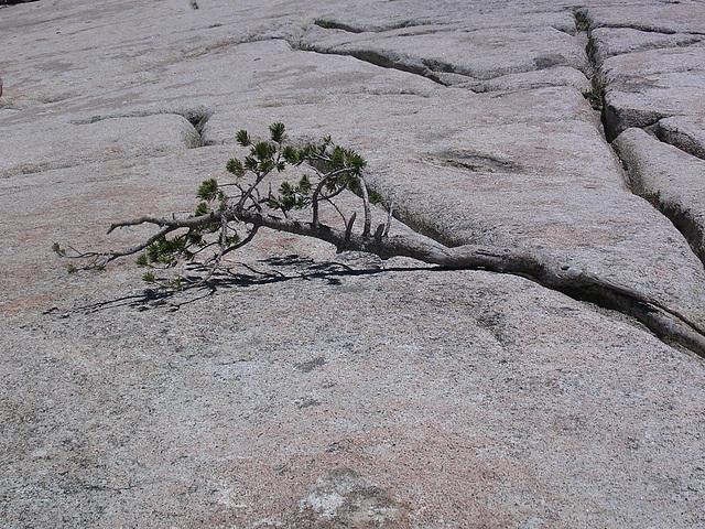 Yosemite NP - Überlebenskampf