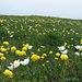 Alpenblumenwiese bei der Kanisfluh