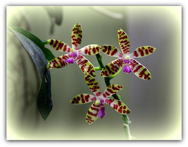 Phalaenopsis bastiani (2)