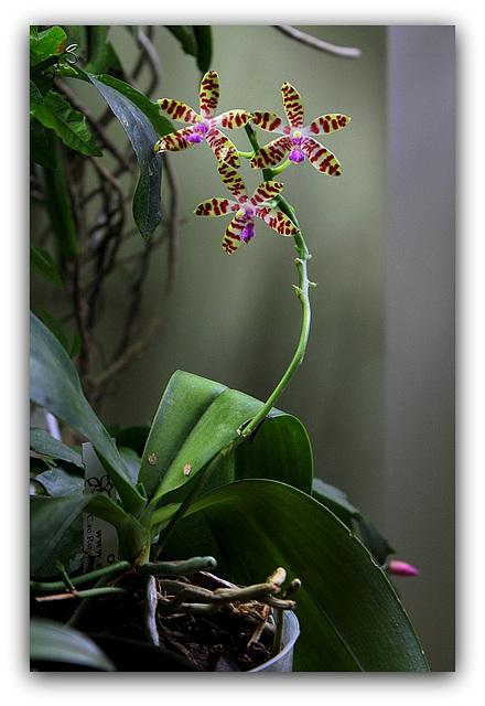 Phalaenopsis bastiani (3)