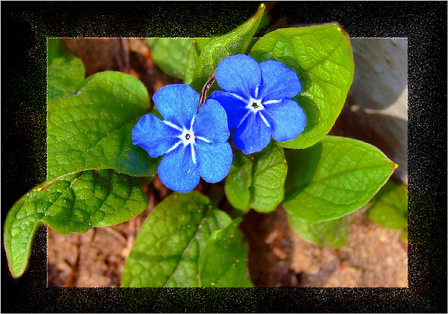 *Forget-me-not*