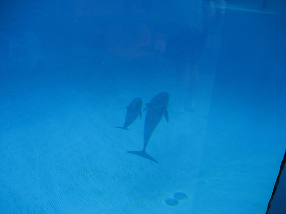 Algarve, Albufeira, Zoomarine, a newborn dolphin with mother