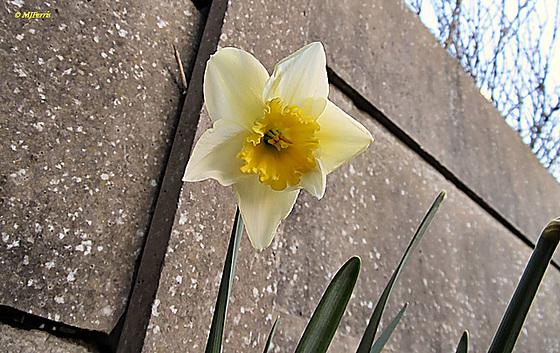 01 daffodil