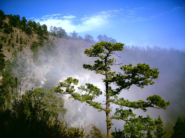 Kanarische Kiefer an der oberen Wolkengrenze auf Teneriffa