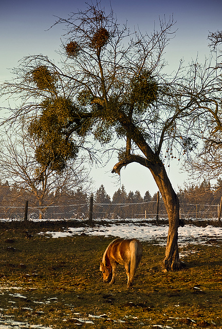 Horse under mistletoes