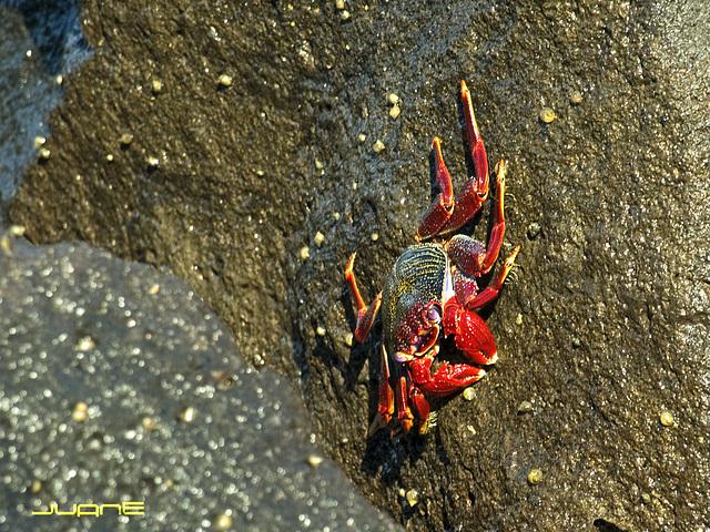 Cangrejo Moro (Grapsus adscensionis)