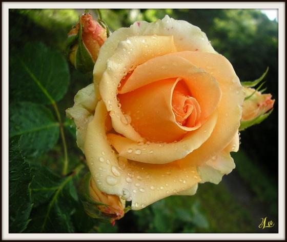** La beauté d'une rose **