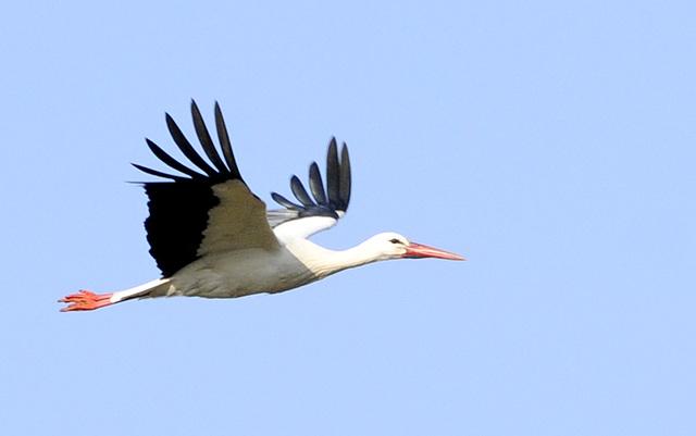 Hurra, der erste Reinheimer Storch ist zurück!