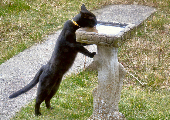 03 Sooty drinking from bird bath