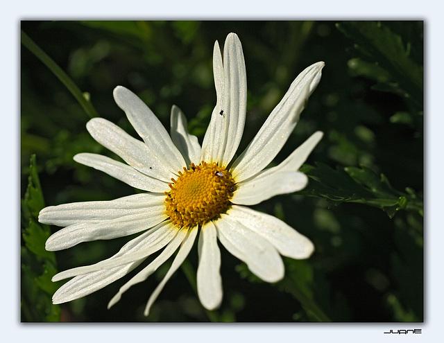 Argyranthemum escarrei