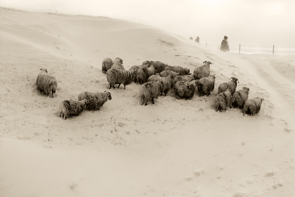 sheeps covered with snow