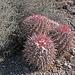 Cactus (8493)
