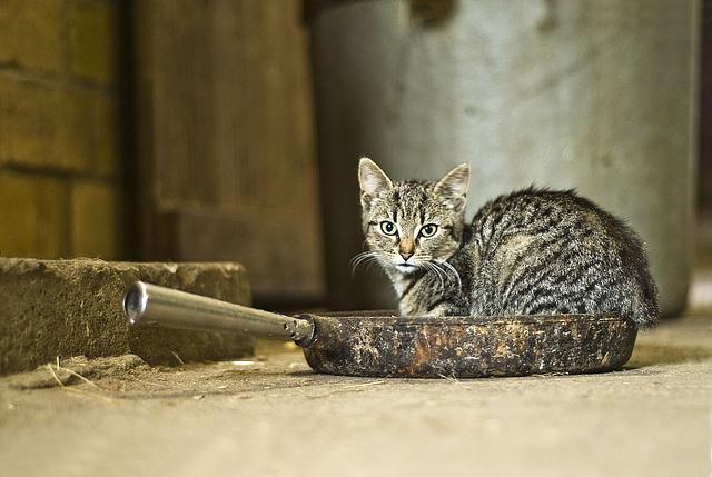 Cat in the pan - darker