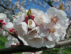 fleurs de cerisier ou pommier